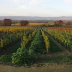 Neu gepflanzt in 2015 - Gelber Muskateller